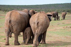 Twee olifantengezinnetjes op weg met de kudde
