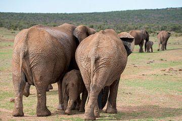 Twee olifantengezinnetjes op weg met de kudde van Jack Koning