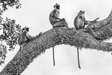 Die Drei Affen, Schwarz Weiß von Ralph Bibus