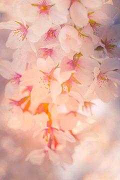 Blumenparadies   Kirsche Japanische Blüte   Von Dagmar Pels von Dagmar Pels