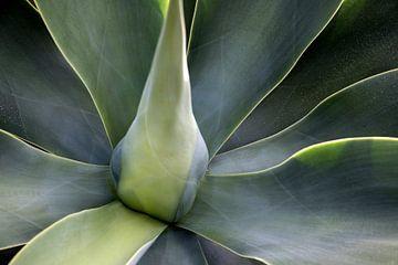 Die Grüntöne der Agave-Pflanze von Pictorine