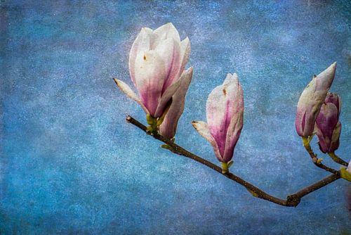 De bloemknoppen van de magnolia staan op springen