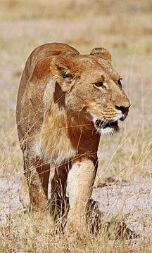 Lioness, Africa wildlife van