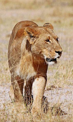 Löwin, Afrika wildlife von