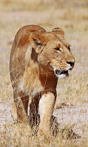 Lioness, Africa wildlife van W. Woyke