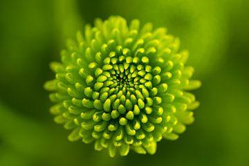Chrysantheme | Blume | grün von Marianne Twijnstra-Gerrits