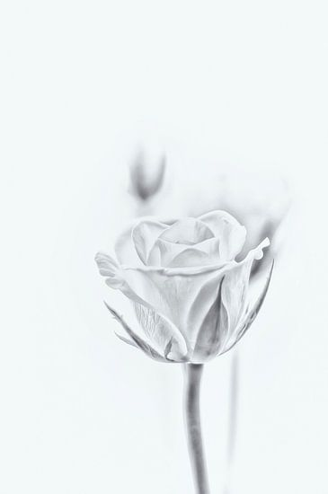De schoonheid van de witte roos.