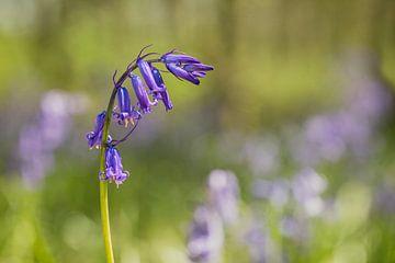 Wilde Hyazinthe oder Boshyazinthe (Hyazinthoides non-scripta) von Carola Schellekens