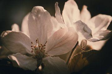 Apfelblüte von Tanja de Boer