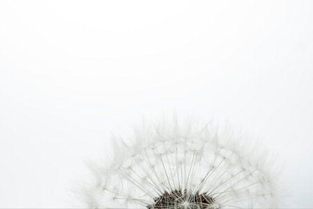 Löwenzahnflaum vor einem weißen Hintergrund.