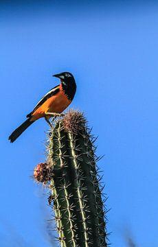 Oranger Raufbold, Singvogel, taucht in Kolumbien, Venezuela und auf den ABC-Inseln auf. von Ruurd van der Meulen