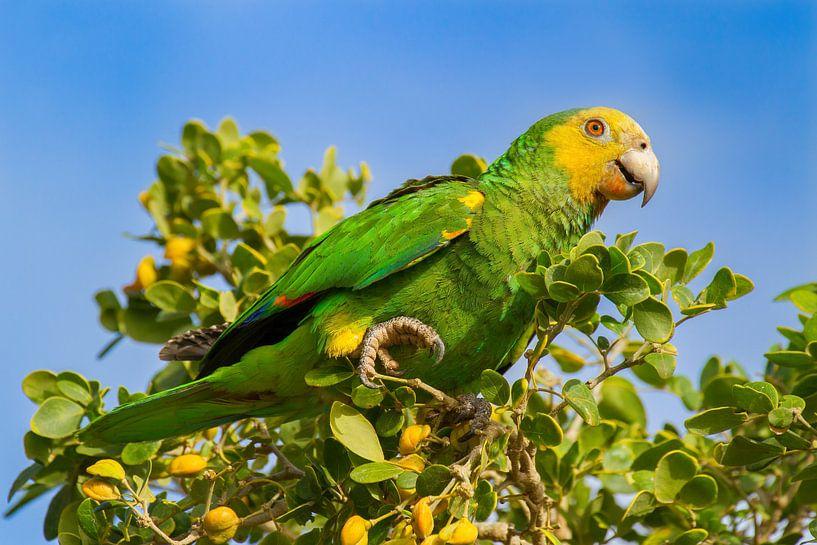 Gelbflügel-Amazonen-Papagei sitzt in grüner Baumkrone von Ben Schonewille