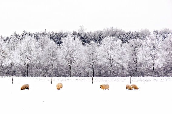 Schapen in een Hollands winterlandschap