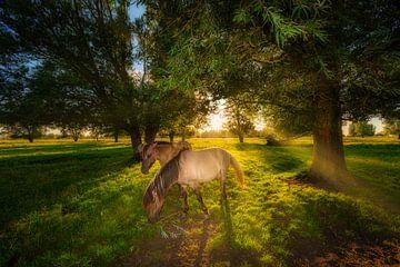 Konik paarden in de natuur met mooi licht van Bas Meelker