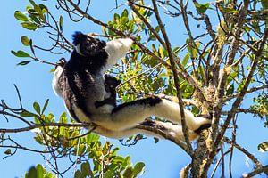 Indri Indri met jong