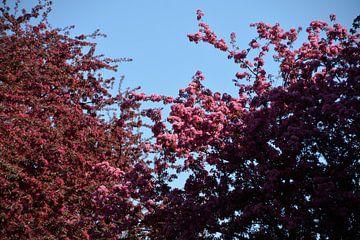 Roze Bloesem in het licht van de zon van FotoGraaG Hanneke