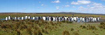 Pinguins op de Falklandeilanden van Roel Dijkstra