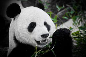 Een leuk panda volledig gezicht eet een heldere sappige bamboescheut op een donkere achtergrond. van Michael Semenov