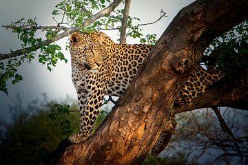Léopard dans un arbre sur Petra Lakerveld
