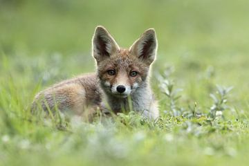 Jonge vos liggend in het gras von Menno Schaefer