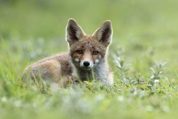 Jonge vos liggend in het gras van Menno Schaefer