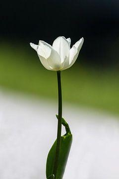 Tulp von Henny Buis