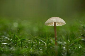 Klein paddenstoeltje in sterretjesmos