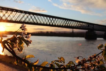 Kersenbloesem aan de Rijn van Johannes Grandmontagne