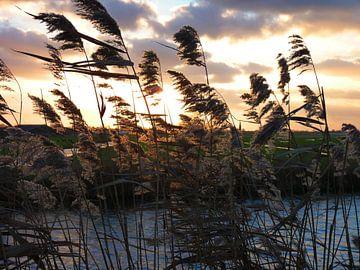 Riet met zonsondergang van M de Vos