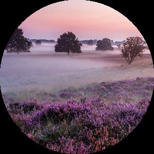Paarse Heide en mist Gasterse Duinen van R Smallenbroek