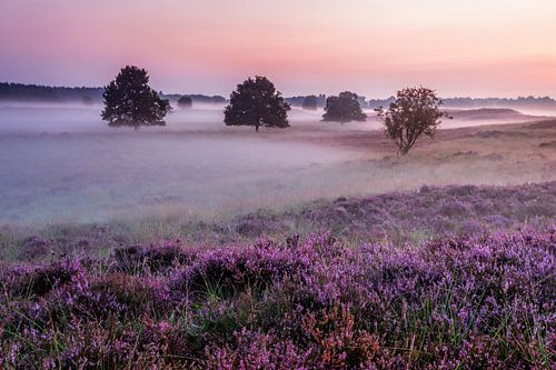 Paarse Heide en mist Gasterse Duinen
