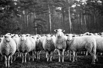 Eine Herde neugieriger, niedlicher Schafe, wie eine große Familien Gruppe, die in die Kamera schauen von John Quendag