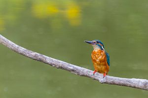 Eisvogel - Kingfisher