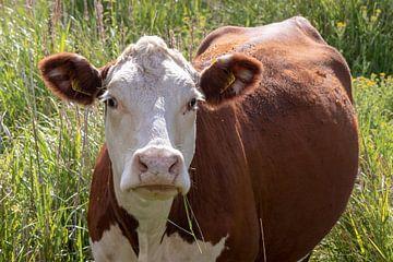 Geschmutzte Kuh von Anjella Buckens