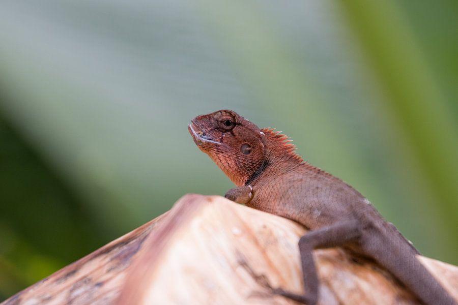 Oosterse tuinhagedis (Oriental garden lizard) van Thijs van den Broek