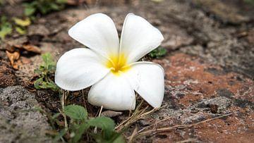 Fleur blanche laissée en sacrifice sur Wendy Duchain