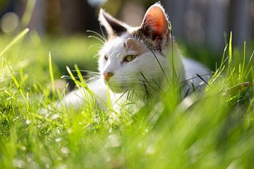 Katze in der Sonne von Miranda van Hulst