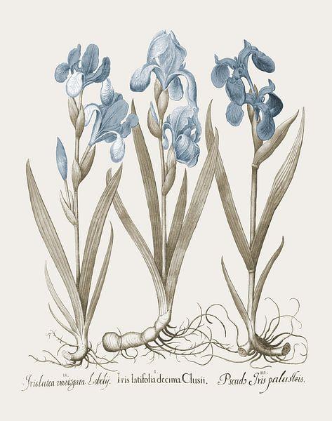 Basilius Besler-Iris und Lilie i von finemasterpiece