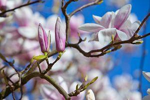 Bloesem Magnolia van Johann van der Geest