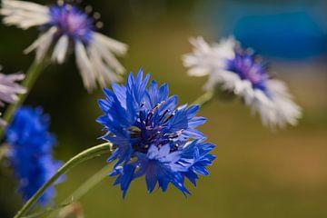 Das kräftige Blau der Kornblume von J..M de Jong-Jansen