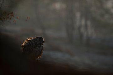 Adelaarsuil ( Bubo bubo ) zittend vroeg in de ochtend in het eerste licht, achtergrondfoto, Europa. van wunderbare Erde