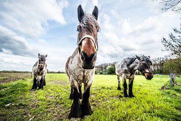 HDR Paarden in het weiland