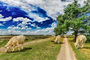 Hollands landschap - Hei en Koeien van