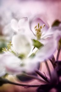 Apfelblüten im sanften rosa Licht