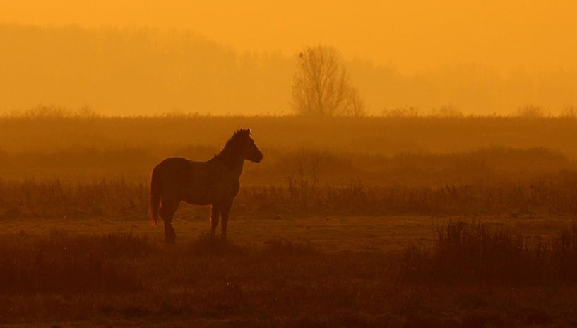 Konik horse in the morning van Anne Koop