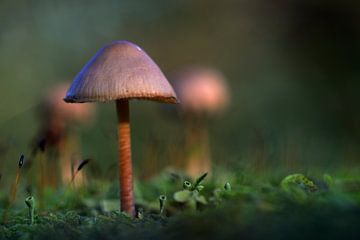 mushroom mystery von rik janse