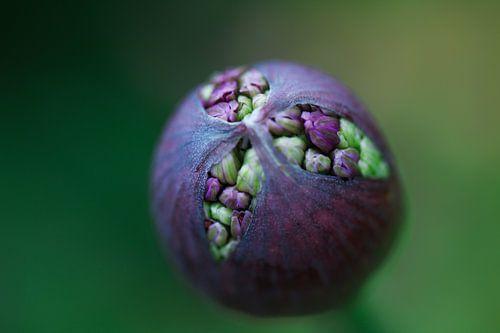Openbarstende Allium bloem (ui)