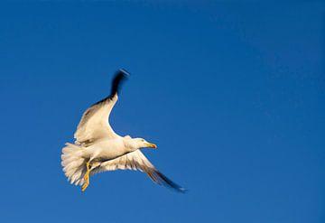 Vliegende zilvermeeuw von John Stuij