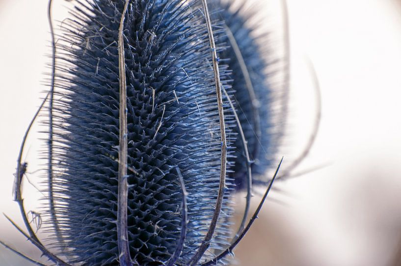 Blauwe distel van Nora Verhoef