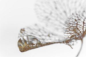Druppel op uitgebloeide hortensia bloem van Ad Jekel
